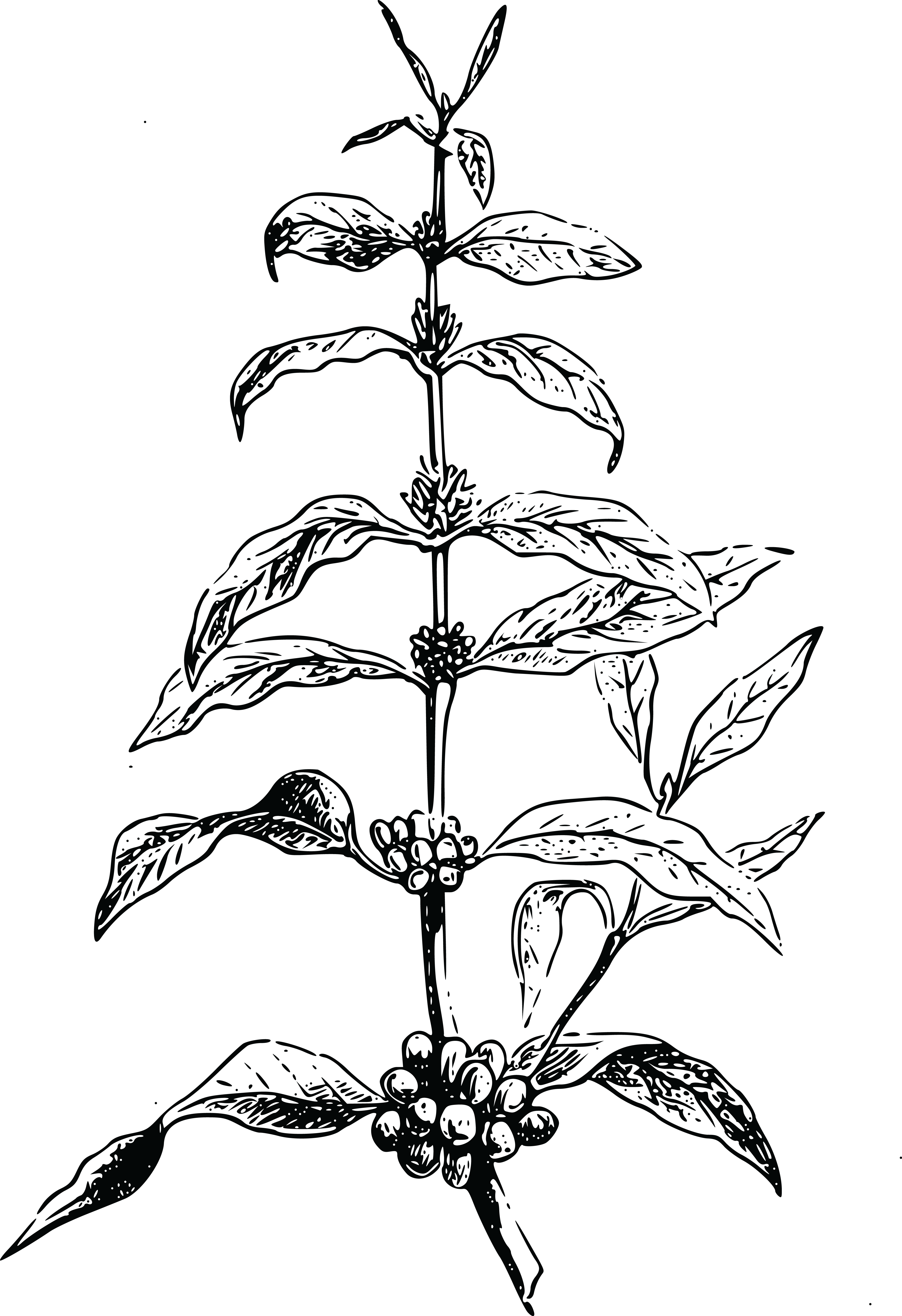 Coffee Plant Clipart