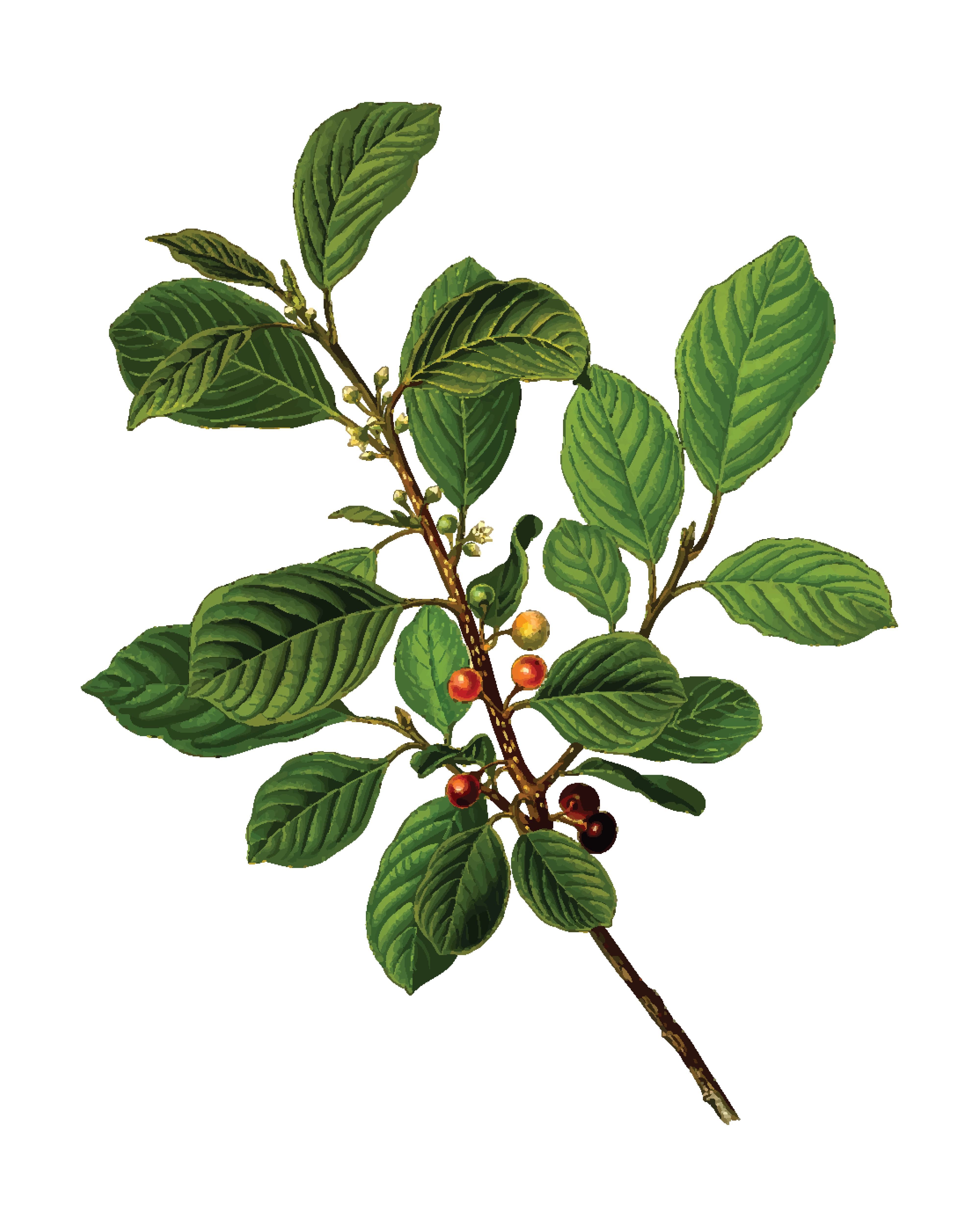 Free Clipart Of An alder tree branch