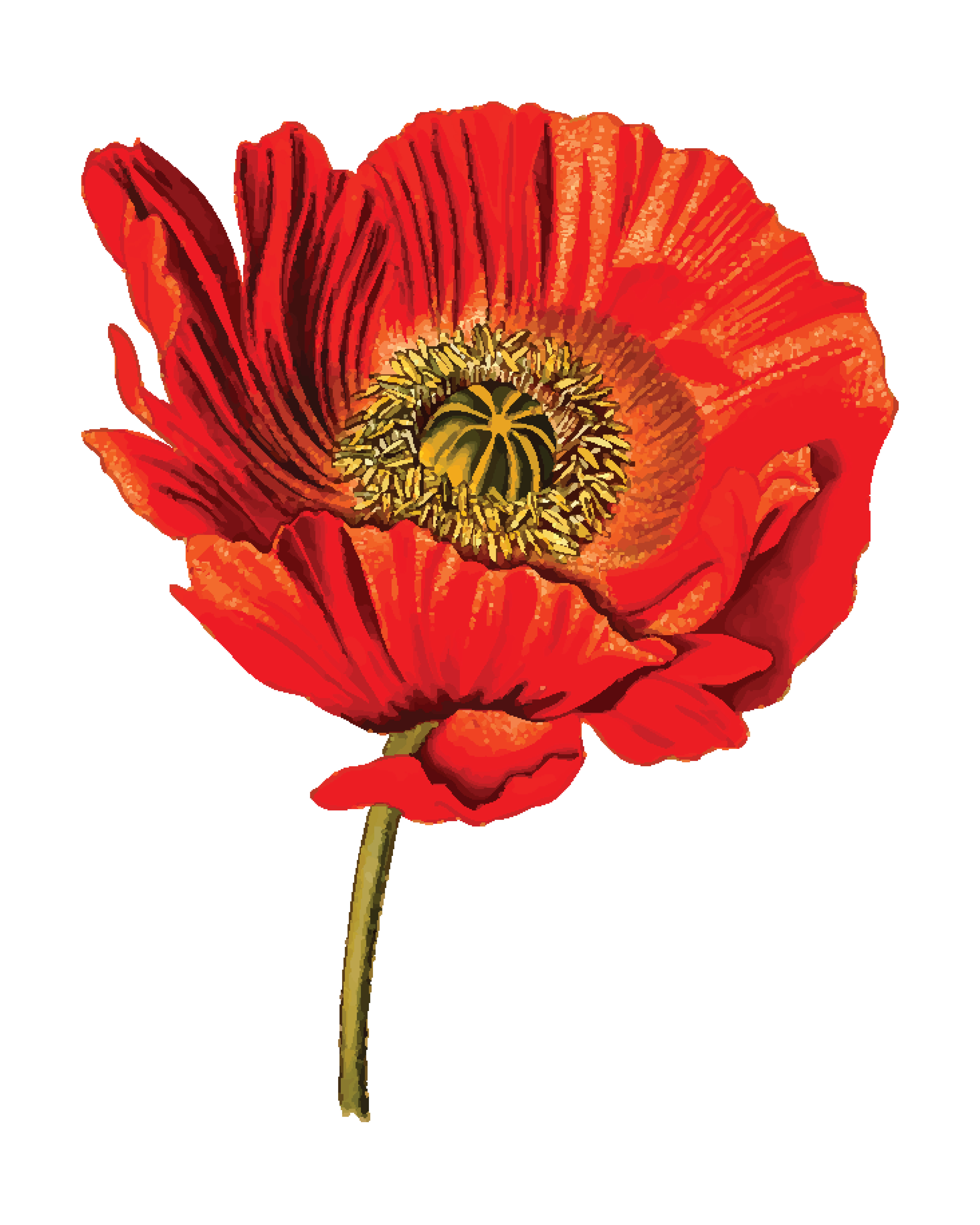 Clipart of a poppy flower free clipart of a poppy flower 00011406 mightylinksfo Images