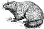 Free Clipart Of A Woodchuck