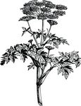 Free Clipart Of An Angelica Plant