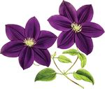 Free Clipart Of Clematis Flowers