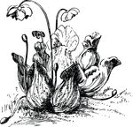 Free Clipart Of A Pitcher Plant