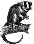 Free Clipart Of A Possum