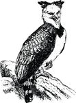 Free Clipart Of A Harpy Eagle