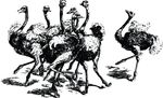 Free Clipart Of A Group Of Ostriches