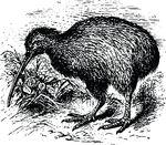Free Clipart Of A Kiwi Bird