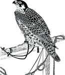 Free Clipart Of A Pet Falcon
