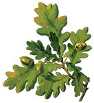 Free Clipart Of An Oak Branch