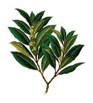 Free Clipart Of A Bay Laurel Branch
