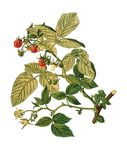 Free Clipart Of A Raspberry Plant