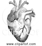 Free Clipart Of Anatomical Human Heart Black And White Version