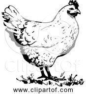 Free Clipart Of A Chicken Black And White