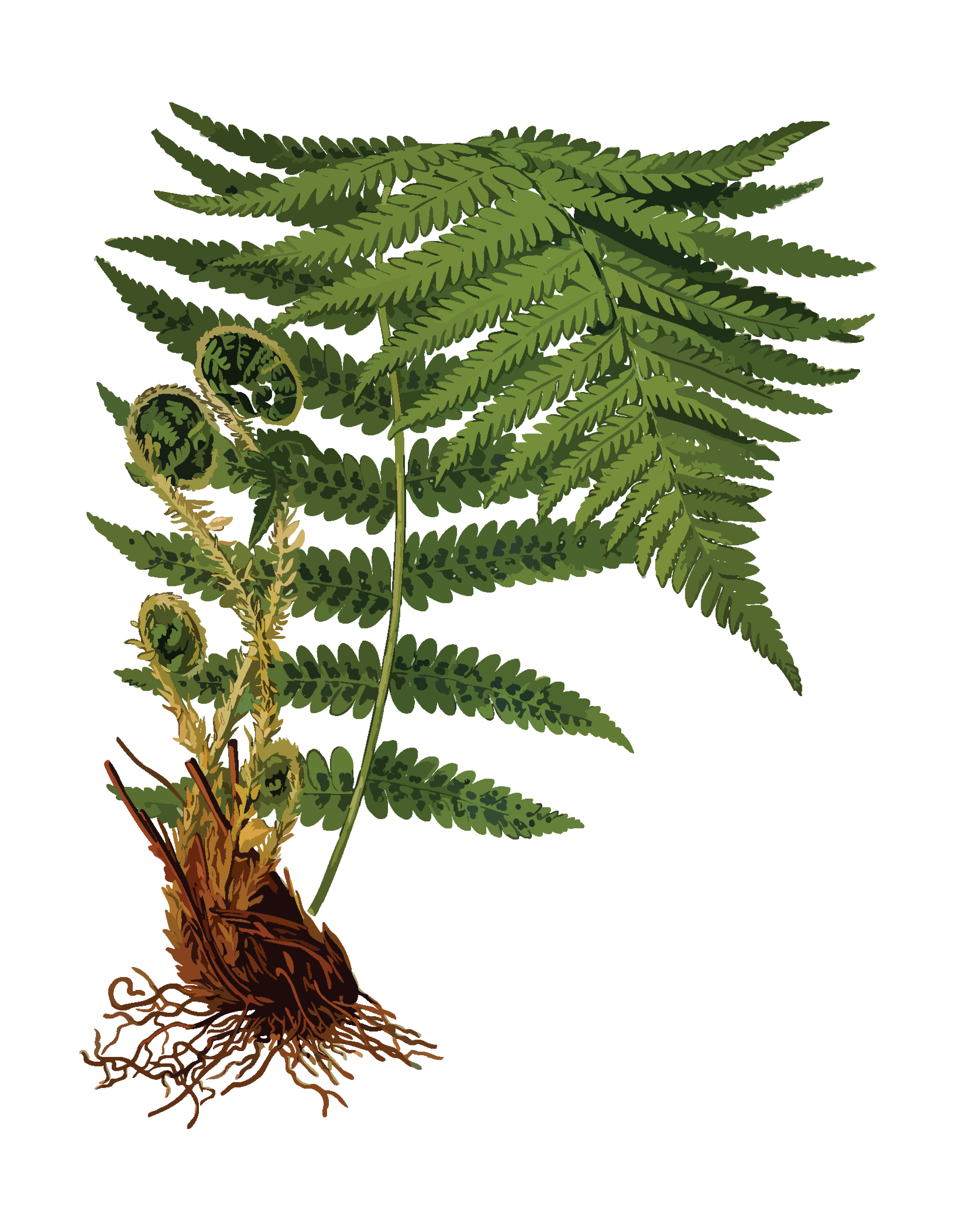 Free Clipart Of A Fern
