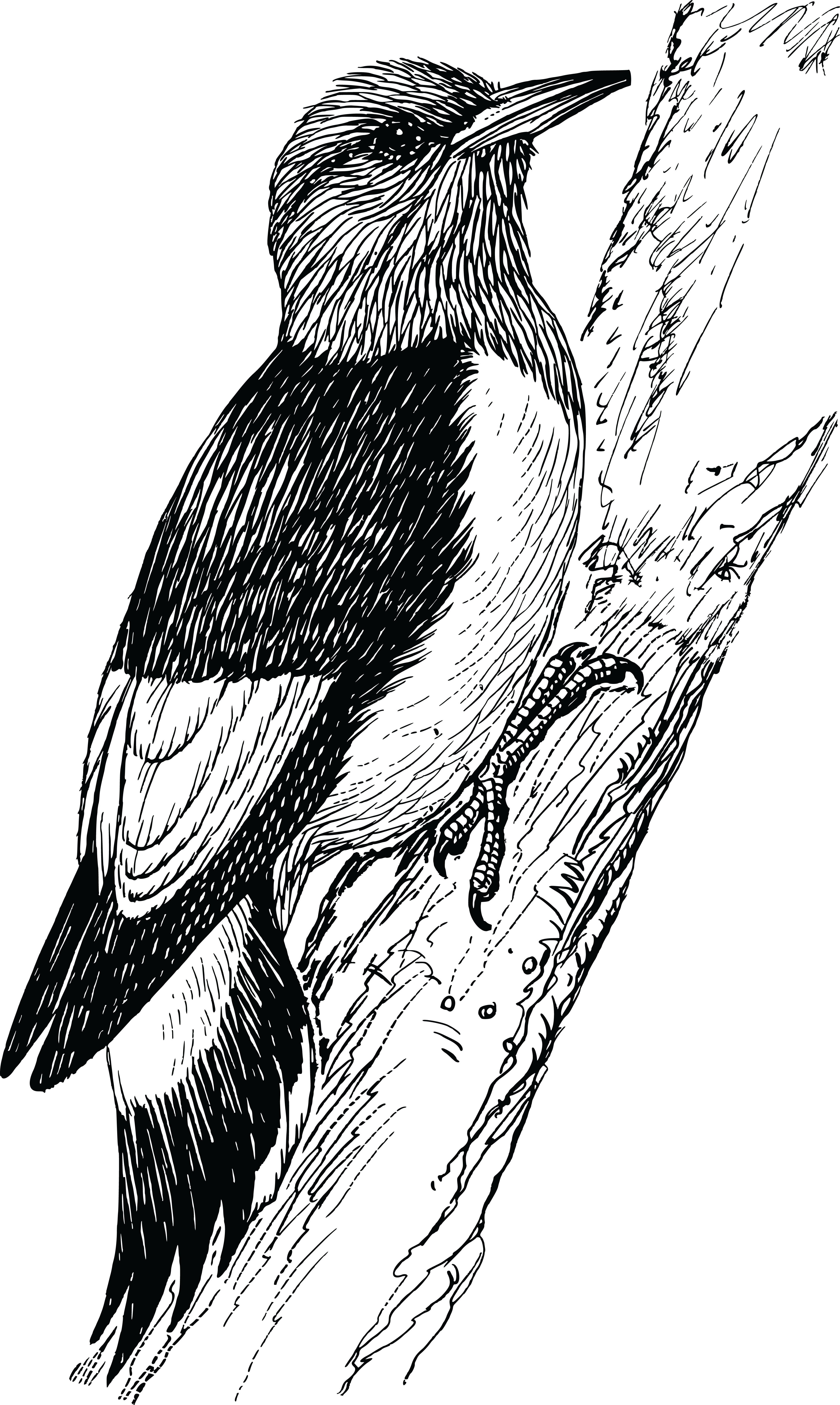 Free Clipart Of A woodpecker bird