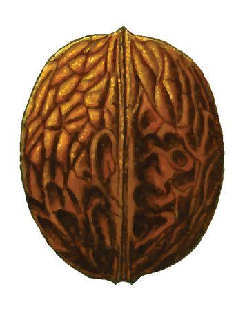 free clipart of a walnut