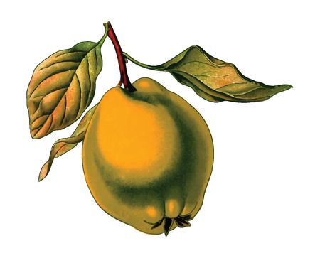 Free Clipart Of A quince