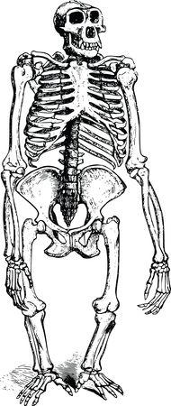 Free Clipart Of A gorilla skeleton