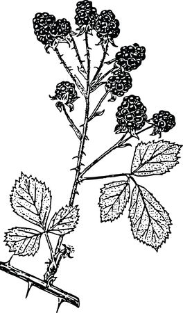 Free Clipart Of A blackberry branch