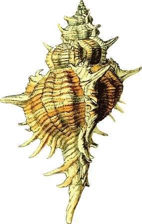 Free Clipart Of A conch sea shell