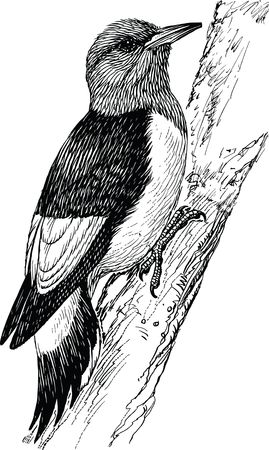 Free Clipart Of A woodpecker bird