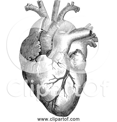 Free Clipart of Anatomical Human Heart - Black and White Version