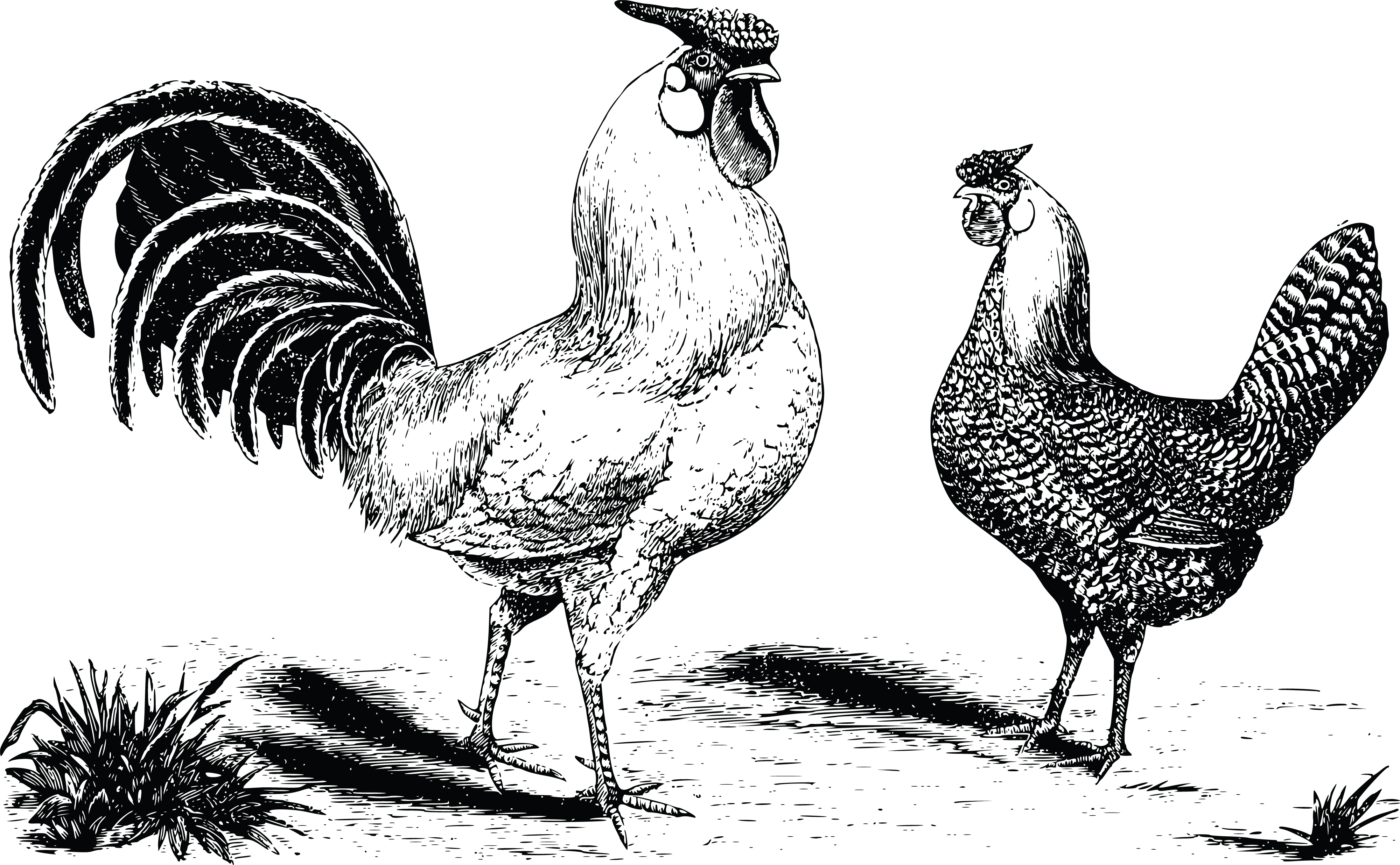 Line Art Rooster : Clipart of a hen and rooster