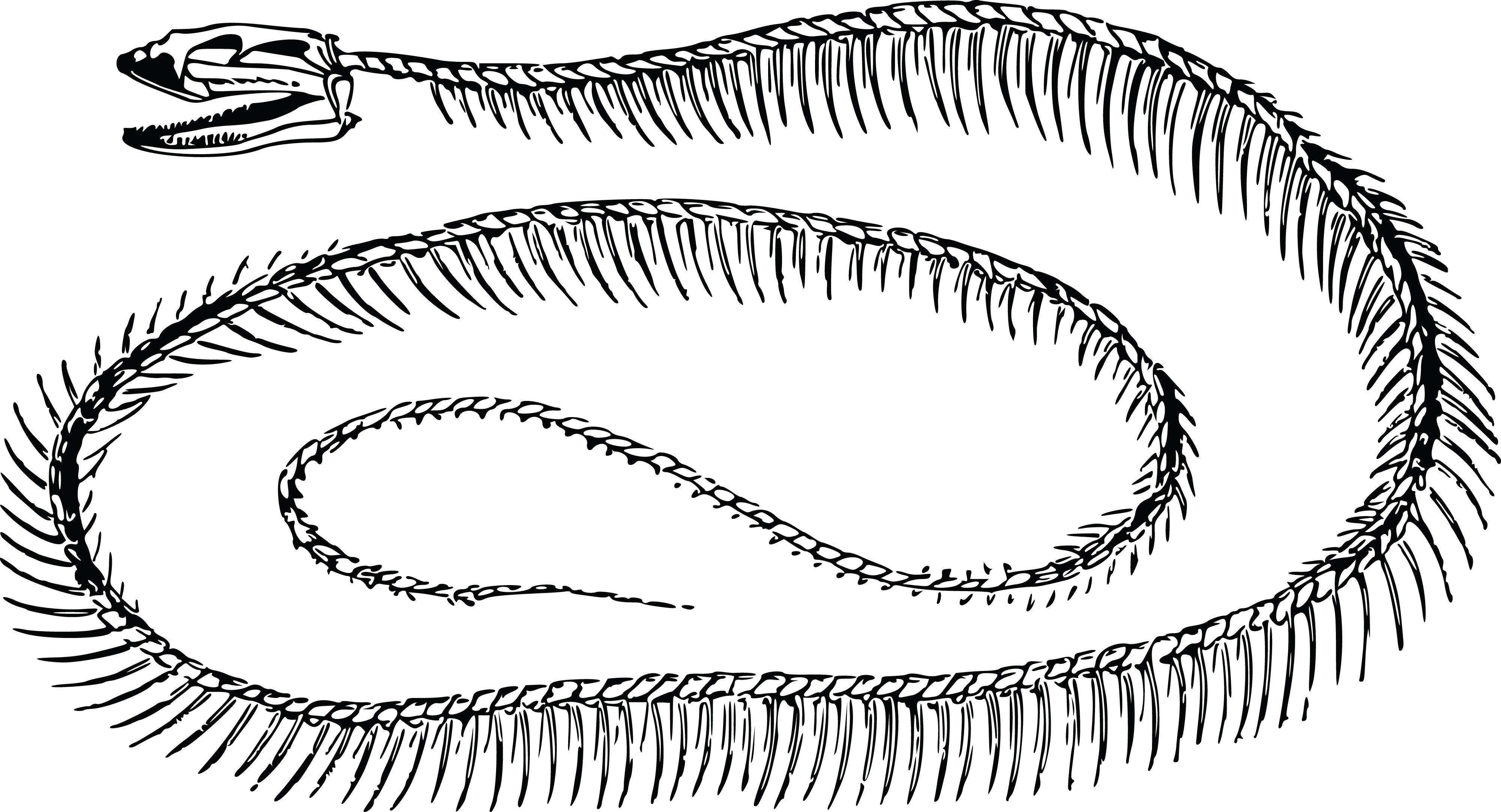 free clipart of a snake skeleton