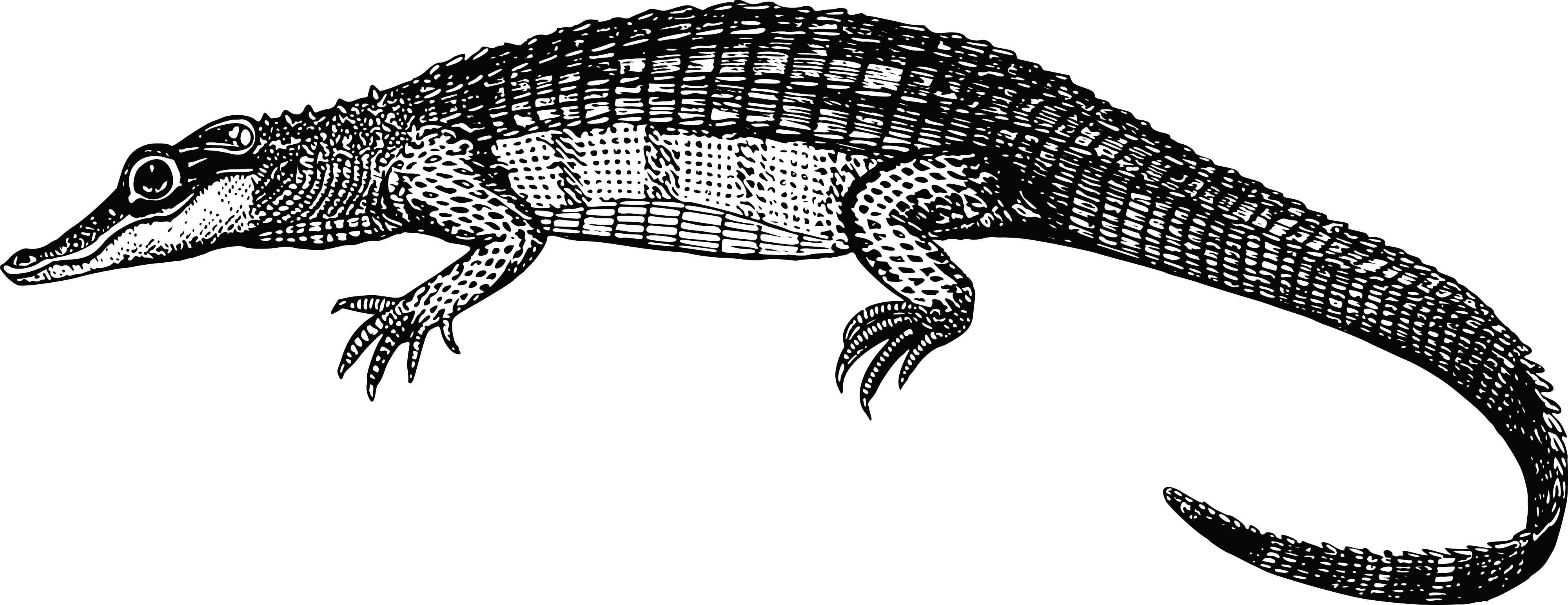 Clipart Of A black and white Alligator for Clipart Crocodile Black And White  70ref